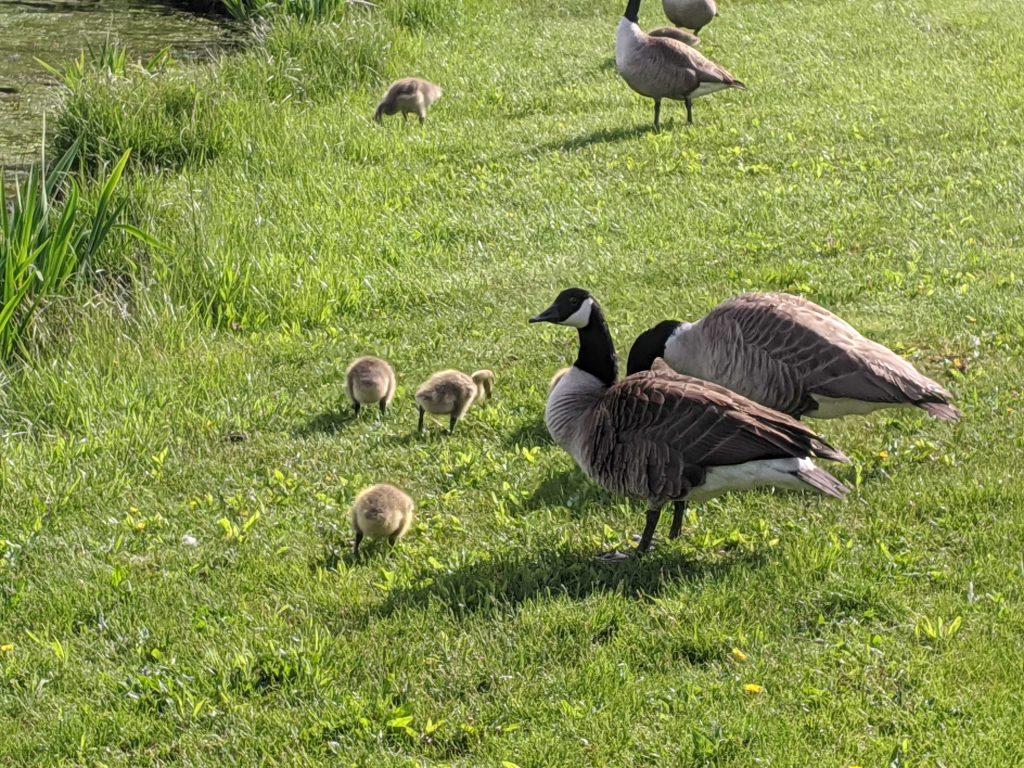 geese babies